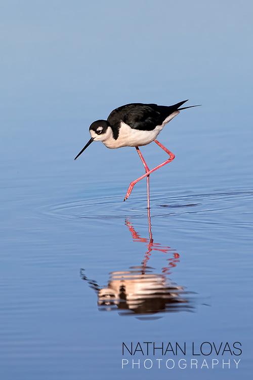 Black-necked stilt in wading in blue water;  Arizona.