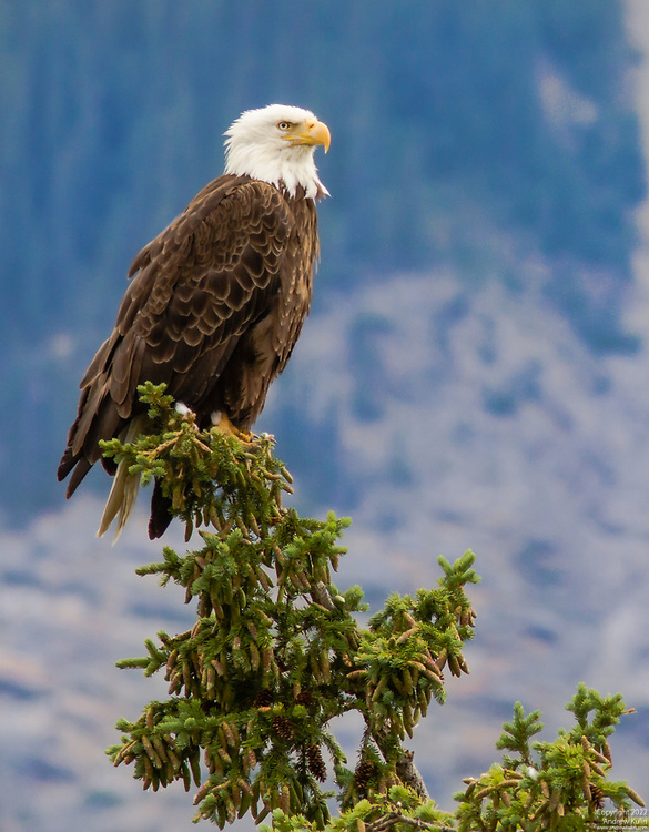 This Bald Eagle was visible from the Yellowhead Highway east of Jasper Alberta.  It sat on this perch for almost an hour before flying over the highway to join its' mate.