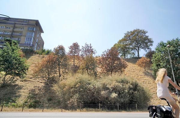 Nederland, The Netherlands, Nijmegen, 31-7-2018Door de aanhoudende droogte en hitte heeft de natuur het moeilijk zoals hier aan de rand van Nijmegen. Veel planten en bomen verdorren en sterven af . Blad van bomen hangt omlaag of vergeeld . Foto: Flip Franssen