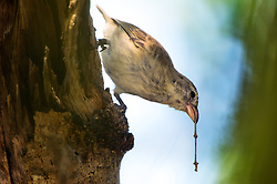 Woodpecker Finch (Camarhynchus pallidus) with a tool in Galapagos Islands
