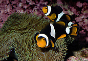 Breeding pair of Percula clownfish, Amphiprion percula.