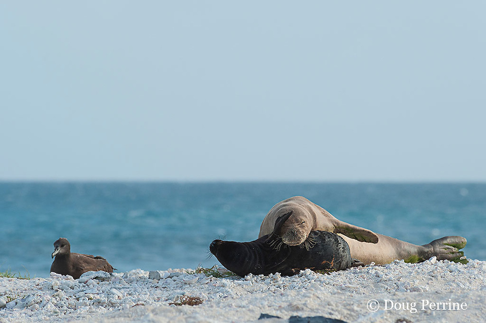 endemic Hawaiian monk seal, Monachus schauinslandi ( Critically Endangered Species ), and pup, resting on beach near black-footed albatross, Phoebastria nigripes, East Island, French Frigate Shoals, Papahanaumokuakea Marine National Monument, Northwest Hawaiian Islands, USA ( Central Pacific Ocean )