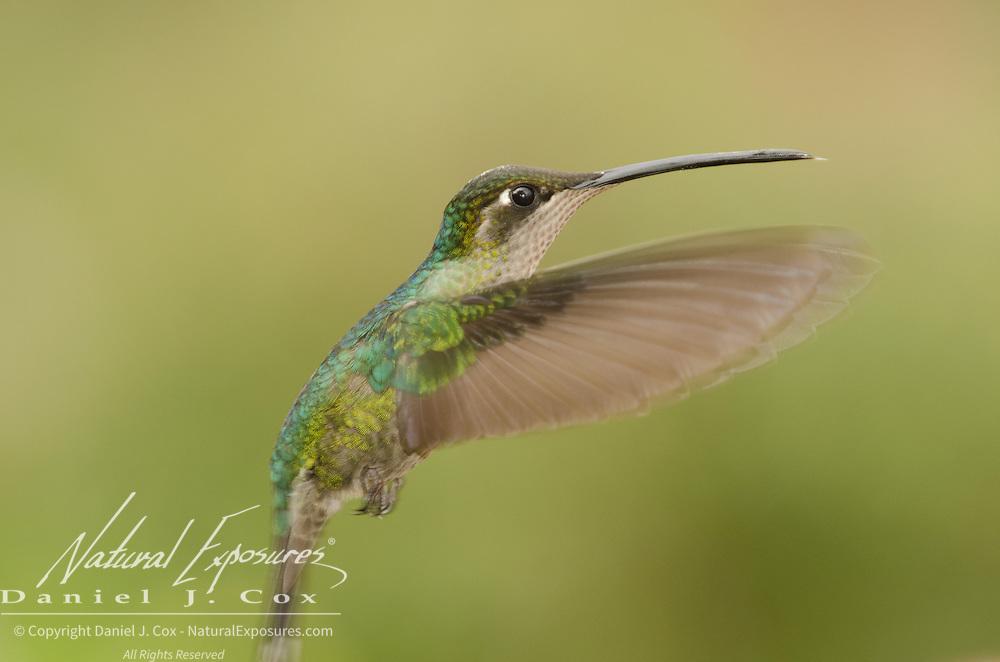 Hummingbird in flight. Costa Rica