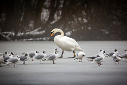 © Licensed to London News Pictures. 05/03/2018. Leeds UK. A Swan walks across  the frozen lake at Golden Acre park in Leeds this morning as the county is covered with thick fog for a second day. Photo credit: Andrew McCaren/LNP