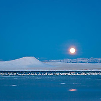 flocks of snow geese rest on freezeout lake, montana, moon setting, rocky mountain front, crown of the continent