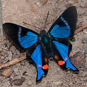 Periander Metalmark butterfly at the Cristalino Jungle lodge, Amazon, Brazil
