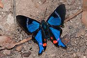 Periander Metalmark butterfly at the Cristalino Jungle lodge, Amazon, Brazil