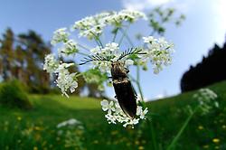 Der bis zu 1,8 cm lange Metallglänzende Rindenschnellkäfer (Ctenicera pectinicornis) ist eine Art aus der Familie der Schnellkäfer (Elateridae). Alle Arten aus dieser Familie besitzen einen kleinen Fortsatz sowie eine Kerbe an der Unterseite des Thorax. Kommen diese Käfer nun versehentlich auf dem Rücken zu liegen, können sie durch das Eindrücken des Fortsatzes in die Kerbe in die Luft schnellen und auf der Bauchseite landen. | A click beetle (Ctenicera pectinicornis)