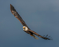 Bald Eagle in flight, banking into a turn, keeping head level, stormy sky background, © 2005 David A. Ponton