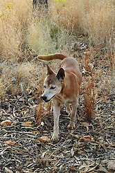 Stock, an Australian Dingo (Canis lupus dingo) walking at Mt Hart Wilderness Lodge on the Gibb River Road. As the apex predator, dingos play an important role in balancing the ecosystem and controlling feral cats.