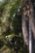 Aquidauana_MS, Brasil...Papagaio voando na fazenda Rio Negro no Pantanal...The parrot flying in Rio Negro farm in Pantanal...Foto: JOAO MARCOS ROSA / NITRO