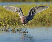 Reddish Egret hunting for prey, Egret rufescens, Espititu Santo, Welder Flats, San Antonio Bay, Texas