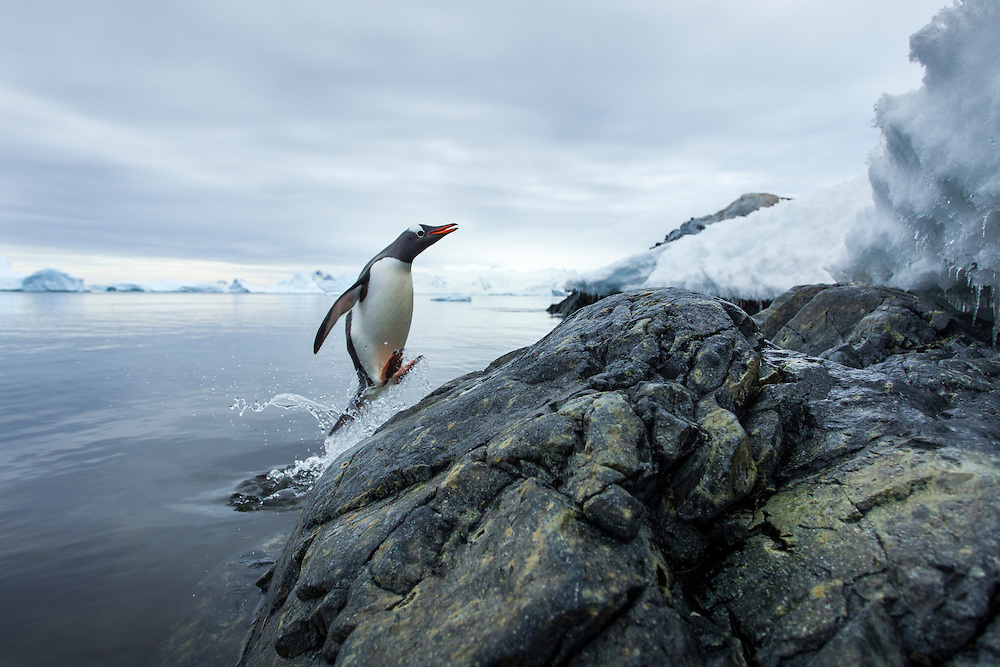 Antarctica, Cuverwille Island, Gentoo Penguin (Pygoscelis papua) leaping from ocean onto rocky shoreline near rookery
