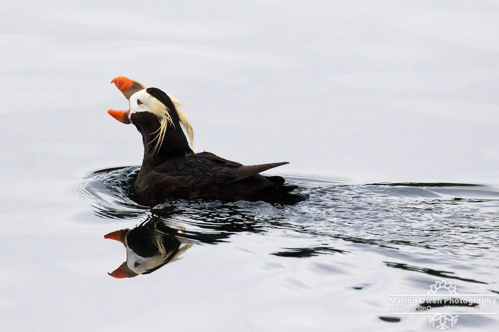 """A tufted puffin """"posturing"""" in Chiniak Bay, Kodiak, Alaska."""