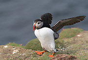 An Atlantic puffin spreads its wings at the edge of a seaside cliff on Fair Isle, Scotland.
