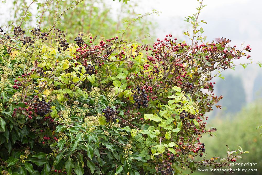 Autumn hedgerow with blackberries, hawthorn and ivy berries. Rubus, Crataegus, Hedera