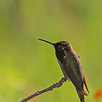 Perching Hummingbird, colorful hummingbird nature photography artwork by Natick photographer Juergen Roth. This beautiful ruby throated hummingbird was photographed in Mountain View, California just down the road of Google headquarters at the end of Shoreline Road where the beautiful Shoreline Park edges the bay. Photographing hummingbirds is always exhilarating and takes lots of patience and trials but in the end I was rewarded with one of my most memorable outdoor experience and photo.<br /> <br /> This bird photography image is available as museum quality photography prints, canvas prints, acrylic prints or metal prints. Prints may be framed and matted to the individual liking and decorating needs:<br /> <br /> http://juergen-roth.pixels.com/featured/perching-hummingbird-juergen-roth.html<br /> <br /> Good light and happy photo making! <br /> <br /> My best, <br /> <br /> Juergen<br /> Website: www.RothGalleries.com<br /> Twitter: @NatureFineArt<br /> Facebook: https://www.facebook.com/naturefineart<br /> Instagram: https://www.instagram.com/rothgalleries