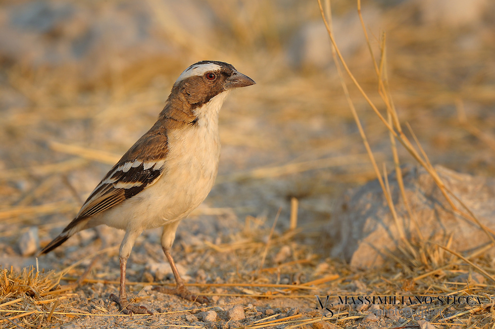 The White-browed Sparrow-Weaver (Plocepasser mahali) is a predominantly brown, sparrow-sized bird found throughout central and northcentral southern Africa. It is found in groups of two to eleven individuals consisting of one breeding pair and nonreproductive individuals.