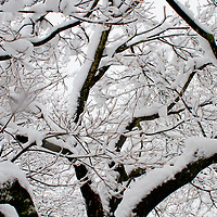 Snow cupped perfectly on the tips of a Dogwood Tree.