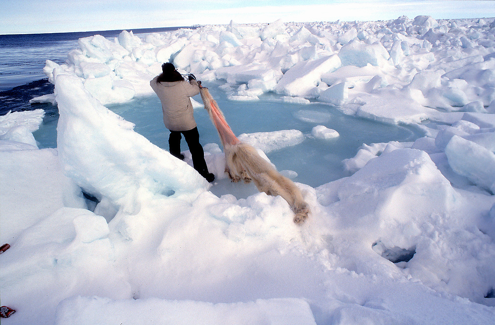 Alaska, Barrow, Alaska Native hunter dragging a polar bear skin to a pool in the sea ice to be cleaned