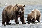 A brown bear sow and yearling cub feed on salmon at the McNeil River State Game Sanctuary on the Kenai Peninsula, Alaska. The remote site is accessed only with a special permit and is the world's largest seasonal population of brown bears in their natural environment.