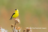 01640-16501 American Goldfinch (Spinus tristis) male eating seeds at thistle plant Marion Co. IL