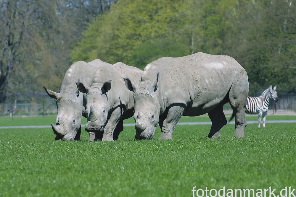 Rhinos on the Savannah at Knuthenborg Safari Park in the soutern part of Denmark.