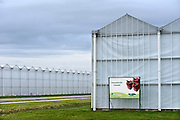 Nederland, Huissenl, 4-1-2014Bergerden. Hier staan een tiental grote, nieuwe, hypermoderne tuinbouw bedrijven.Verregaand geautomatiseerd, deels biologisch en energie zuinig. Kastuinbouw, economie, innovatie, vernieuwing,computergestuurd.Veel Poolse werknemers, arbeidskrachten, personeel, uitzenkrachten werken hier. In deze kas wordt paprika gekweekt. Arbeidsmigratie uit Oost europa, tijdelijke werkvergunning, werkgelegenheid, arbeidsethos. personeelstekort, werkloosheid, CWI.Foto: Flip Franssen/Hollandse Hoogte