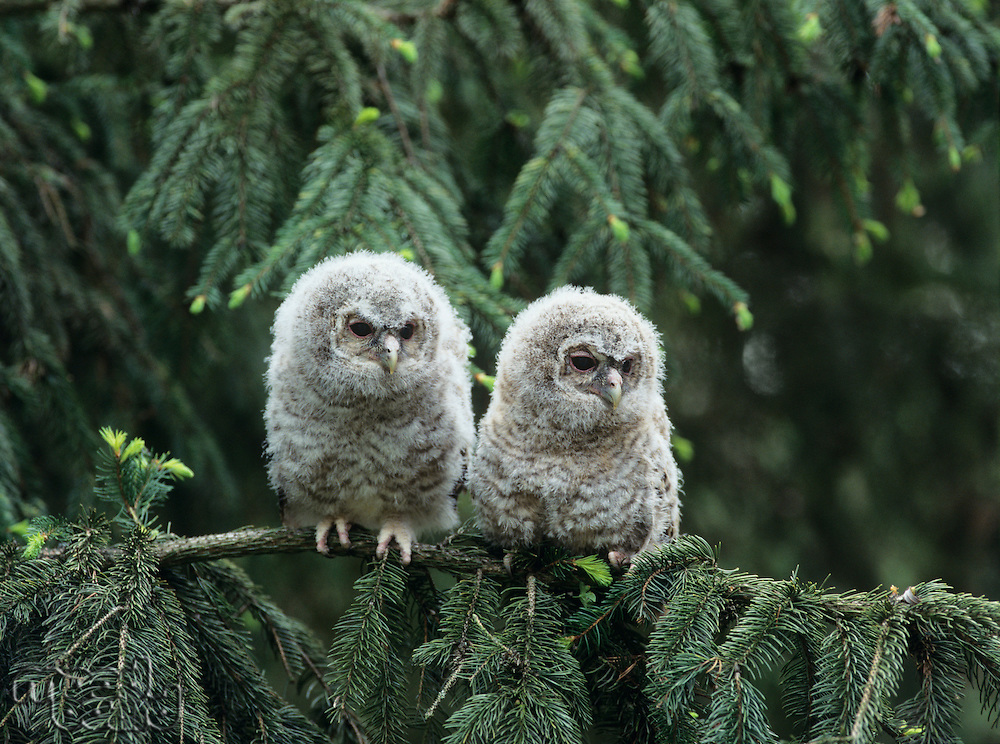 Two owlets perching on tree branch