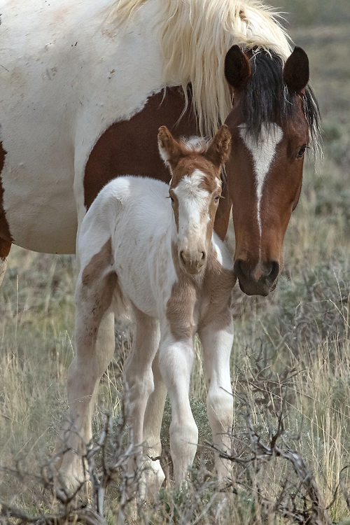 Ms. Packman, nuzzles her newborn filly just a few hours after birth. Sadly, this little filly was terribly injured and only graced this earth for four days, but her presence will be felt at the Peaks forever.