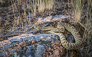 This pacific northern rattlesnake is a subspieces of the western rattlesnake and is common throughout the Salmon and Clearwater river drainages. We encountered 5 rattlesnakes over 5 days on the Middle Fork. Amazing.