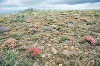 Wildflowers and sage brush on Umptanum Ridge eastern Washington USA&#xA;<br />