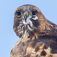 Red-tailed hawk looks over its back towards camera, with prey feathers stuck to its beak, © 2011 David A. Ponton