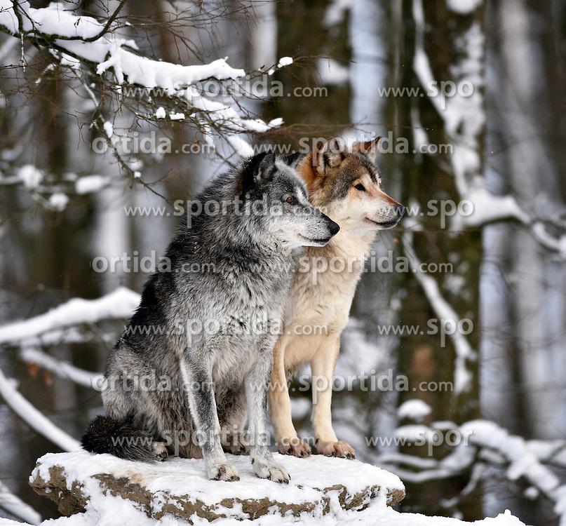 28.12.2014, Wildtierpark, Bad Mergentheim, GER, W&ouml;lfe im Wildtierpark Bad Mergentheim, im Bild Maennlicher und weiblicher Leitwolf, Alphawolf, Timberwolf, Kanadischer Wolf (Canis lupus occidentalis) im Schnee, halten Ausschau, captive // Wolves in the Wildtierpark in Bad Mergentheim, Germany on 2014/12/28. EXPA Pictures &copy; 2015, PhotoCredit: EXPA/ Eibner-Pressefoto/ Weber<br /> <br /> *****ATTENTION - OUT of GER*****