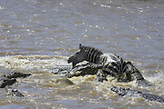 Nile Crocodile<br /> Crocodylus niloticus<br /> Hungry crocodiles attacking zebra<br /> Maasai Mara Reserve, Kenya