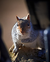 Grey Squirrel. Image taken with a Nikon D5 Camera and 600 mm f/4 VR lens (ISO 110, 600 mm, f/4, 1/640 sec)