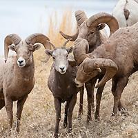group bighorn rams wild rocky mountain big horn sheep