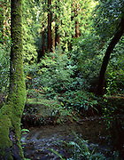 Fern Creek, Muir Woods,  Muir Woods National Monument, California