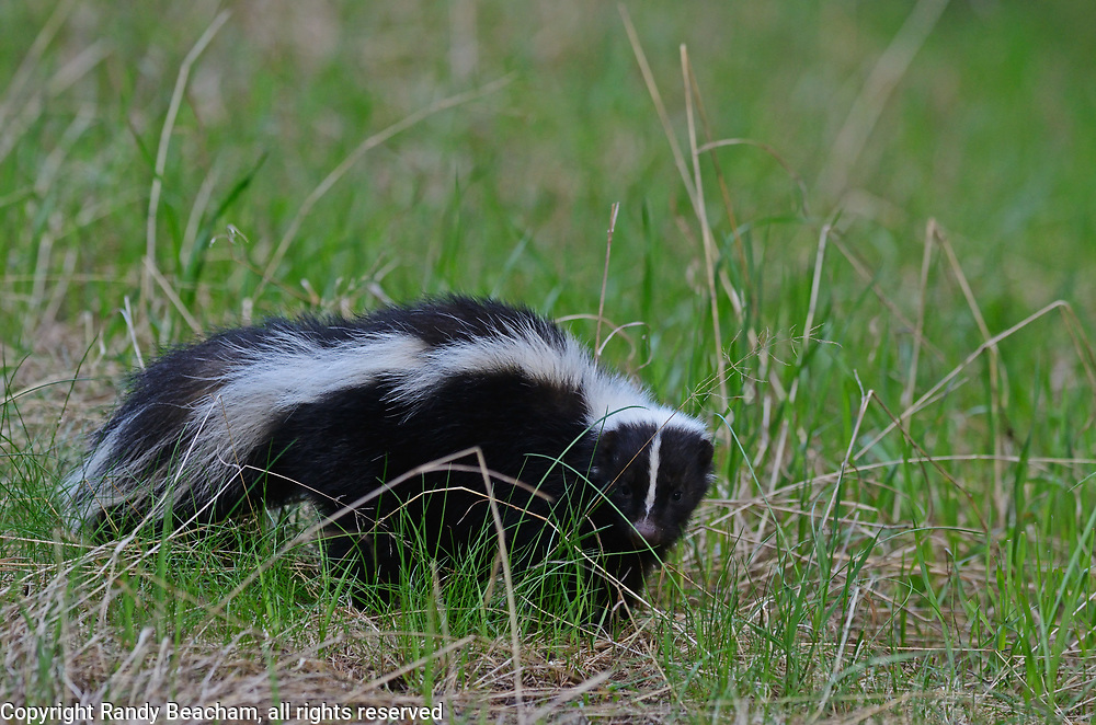 Striped skunk in a forest meadow in spring. Yaak Valley in the Purcell Mountains, northwest Montana.