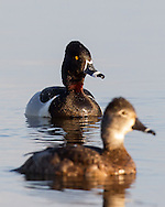 Ring-necked Ducks in Breeding Plumage