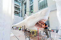 Artist Gary Staab puts the finishing touches on his rendering of a life-size Megalodon at the Smithsonian's National Museum of Natural History in Washington, DC, on April 18, 2019. Photo by Ryan Donnell