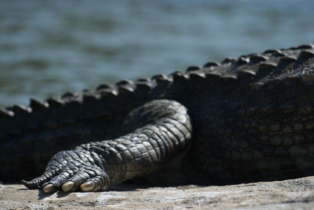 Crocodile, India
