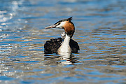 A newborn Crested Grebe leans closely against the parent for comfort, at Lake Wanaka, New Zealand