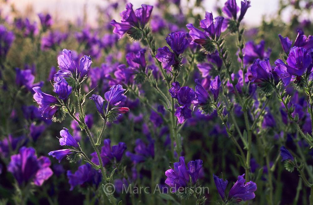 Purple flowers called Pattersons Curse, Echium plantagineum, South Australia.