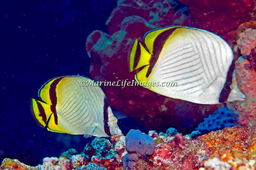 Vagabond Butterflyfish inhabit reefs. Picture taken Raja Ampat, Ambon, Indonesia 2011.