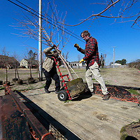 THOMAS WELLS | BUY at PHOTOS.DJOURNAL.COM<br /> Bobby Traylor, left, and Bob Marion of Mid-South Nursey unloads Bald Cypress trees in the Joyner neighborhood to help restore the canopy lost by the April 28, 2014 tornado. The trees were paid for by the Tupelo Garden Club.
