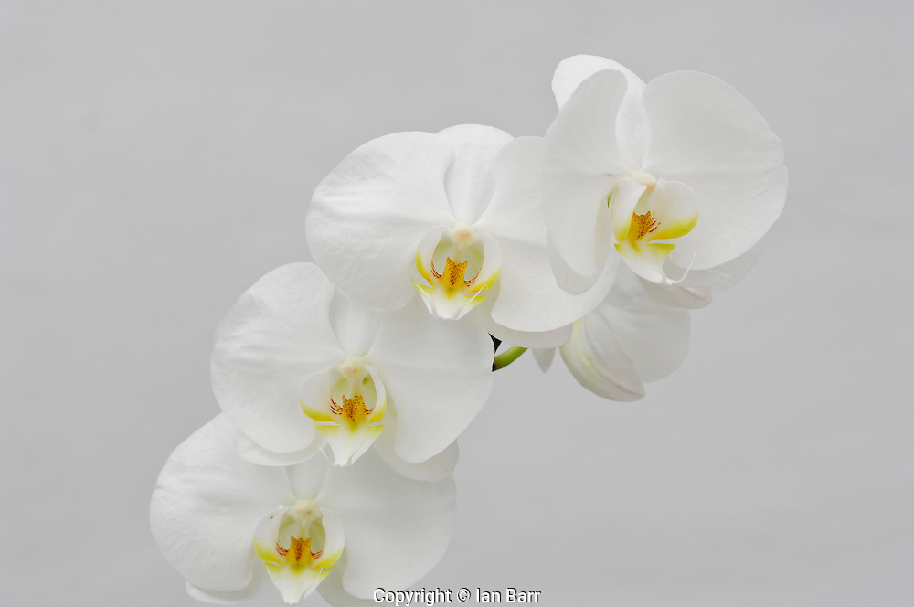 Still Life Of Orchids
