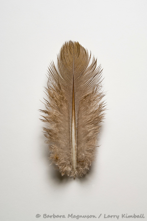 bird feather, detail