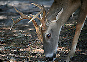 Jekyll Island white tail buck head and rack, grazing on sparse grass in sand.