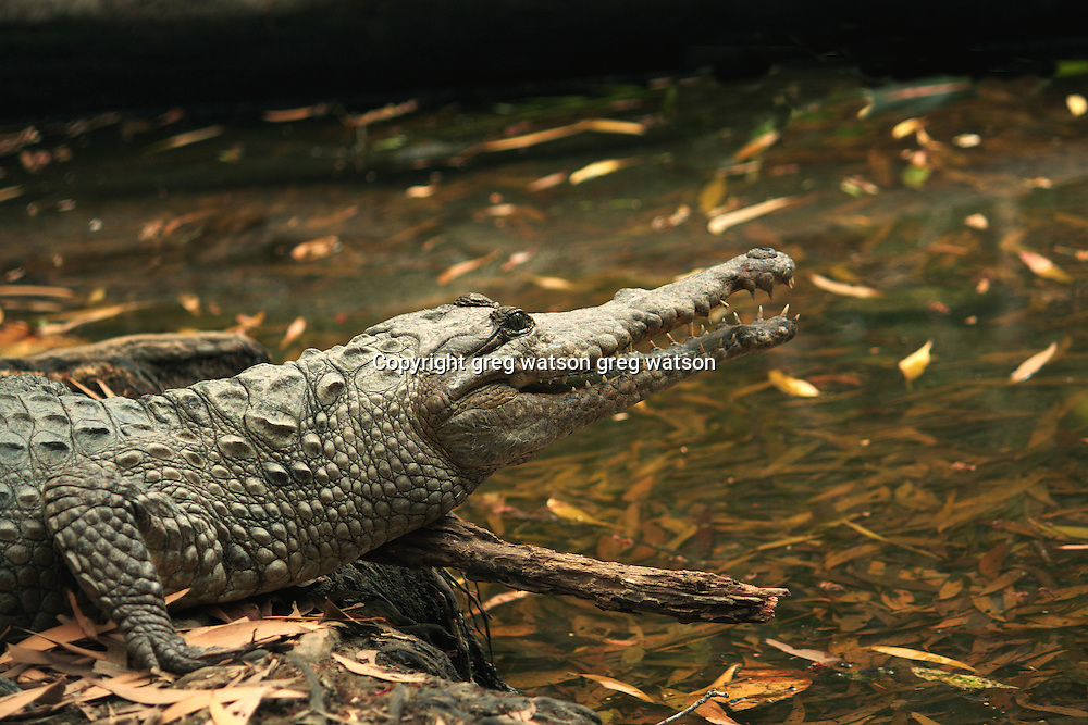 freshwater crocodile (crocodylus johnstoni), profile, north queensland, australia